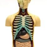 Human body — Stock Photo