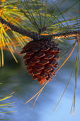 Pine cone in dawn lighting — Stock Photo