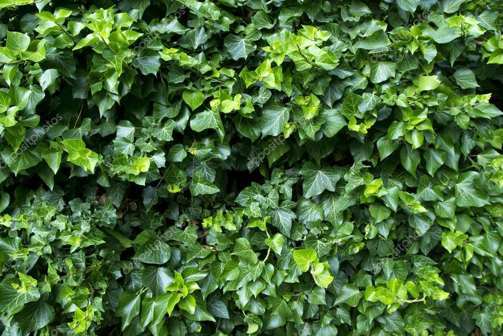 ivy wallpaper. Ivy background