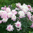 Stock Photo: Pink peony in garden