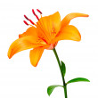 Lily — Stock Photo #1036934