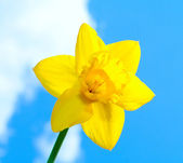 Yellow Daffodil — Foto de Stock