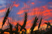 Wheat against sky — Stock Photo