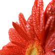 Red gerbera — Stock Photo #1040009