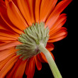 Red gerbera — Stock Photo #1040033