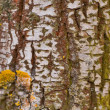 Royalty-Free Stock Photo: Birch bark
