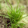 Green grass — Stock Photo #1069911
