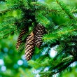 Royalty-Free Stock Photo: Pinecones