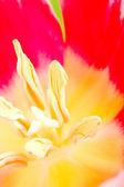 Tulip flower — Stock Photo