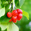 Bunch of cherry — Stock Photo #1103538