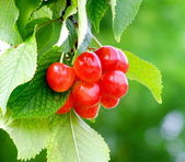 Bunch of cherry — Stock Photo