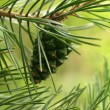 Pine needles — Stockfoto