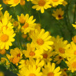 Yellow flowers — Stockfoto #1042607