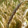 Ripe barley in a field - Stock Photo