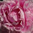 Stock Photo: Flower peony