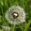 Fluffy dandelion — Stock Photo #1042708