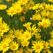 Stock Photo: Glade yellow flowers