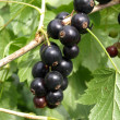 Bushes  black currant - Stock Photo