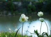 White flowers on the precipice — Stock Photo