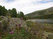 Alpské květiny — Stock fotografie