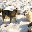 Dogs in snow — Stock Photo #1301143