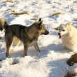 Dogs in the snow — Stock Photo