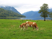 Cows graze — Stock Photo