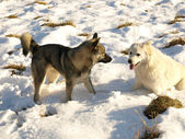 Cães na neve — Foto Stock