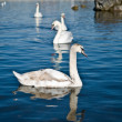 Royalty-Free Stock Photo: Group of floating swans