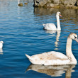 Royalty-Free Stock Photo: Family of swans