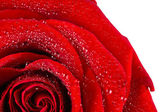 Scarlet rose in water drops — Stock Photo