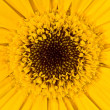 Gerbera a bright yellow flower close up — Stock Photo