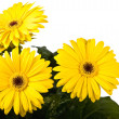 Gerbera a bright yellow flower — Stock Photo