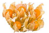 Physalis alkekengi winter cherry — Stock Photo