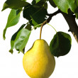 Ripe yellow pear on a branch — Stockfoto