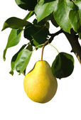 Ripe yellow pear on a branch — Stock Photo