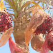 Beautiful fruit Egyptian tree — Foto Stock