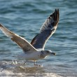 Gull — Stock Photo