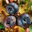 Three rotten apples on vivid leaves - Stock Photo