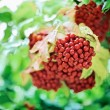 Bunch of red guelder-rose (viburnum) — Stock Photo #1095621