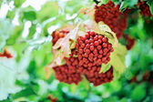 Bunch of red guelder-rose (viburnum) — Stock Photo