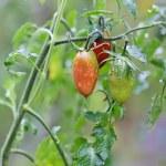 ramo di crescita pomodoro — Foto Stock