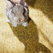 Baby rabbit on carpet with its shadow — Stock Photo #1766396
