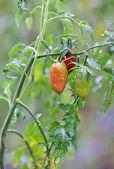 Growth tomato branch — Stock Photo