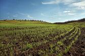 Campo de trigo de invierno — Foto de Stock