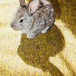 Baby rabbit on the carpet with shadow - Stock Photo