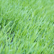 New green oats grass with water drops — Stock Photo