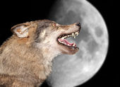 Wolf under the moon — Stock Photo