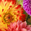 Background with two dahlias — Stock Photo