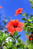 Red hibiscus against the blue sky — Stock Photo